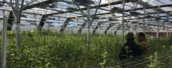 High Tech Cannabis Greenhouse