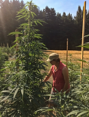 Sungrown cannabis with farmer