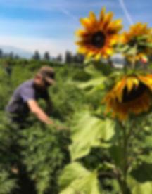 Man cannabis feild with sunflower