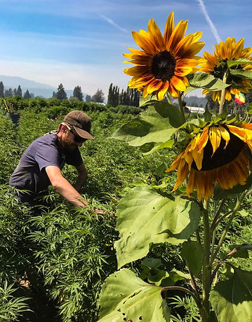 Man cannabis feild with sunflower