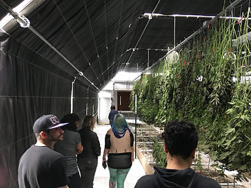 People walking through a greenhouse with harvested cannabis hanging to dry