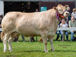 Hilltop Flora takes the Great Yorkshire Blonde Championship