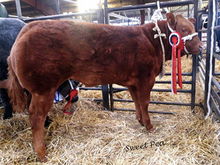 The smell of sweet success as ''Sweet Pea'' picks up Champion Baby Beef.