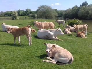 Midland Blonde Club Farm Walk