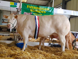 Everingham Judy and her calf take the Reserve Overall Interbreed Championship.