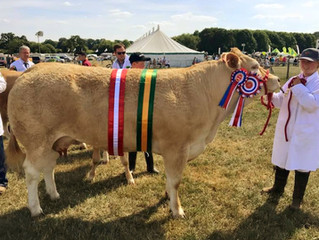 Warmingham Lucy takes the Supreme Beef Interbreed At Nantwich Show.