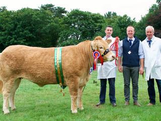 Blondes takes Interbreed Championship at Antrim Show