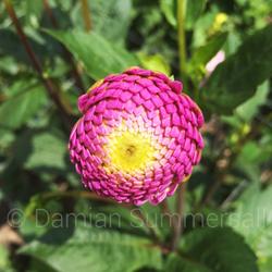 Pin & Yellow Flower