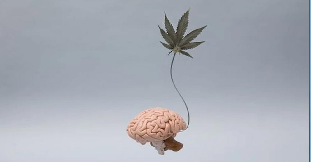 Cannabis et le cerveau