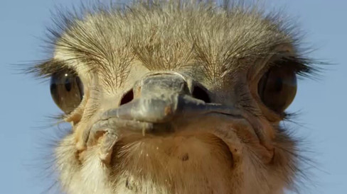 Ostrich – A Life on the Run
