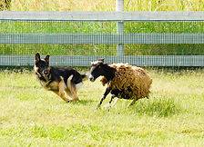German Shepherd herding