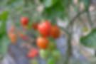 新鮮な島原のみにとみにとまtミニトマト