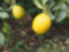 新鮮な島原のレモン