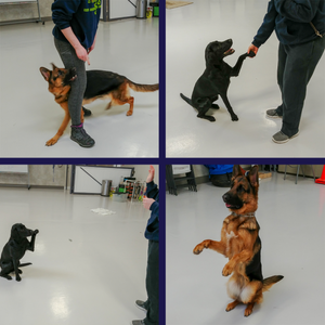 Our trainers Alex and Lauren with their dogs, Flickr and Raylyn, doing some tricks!