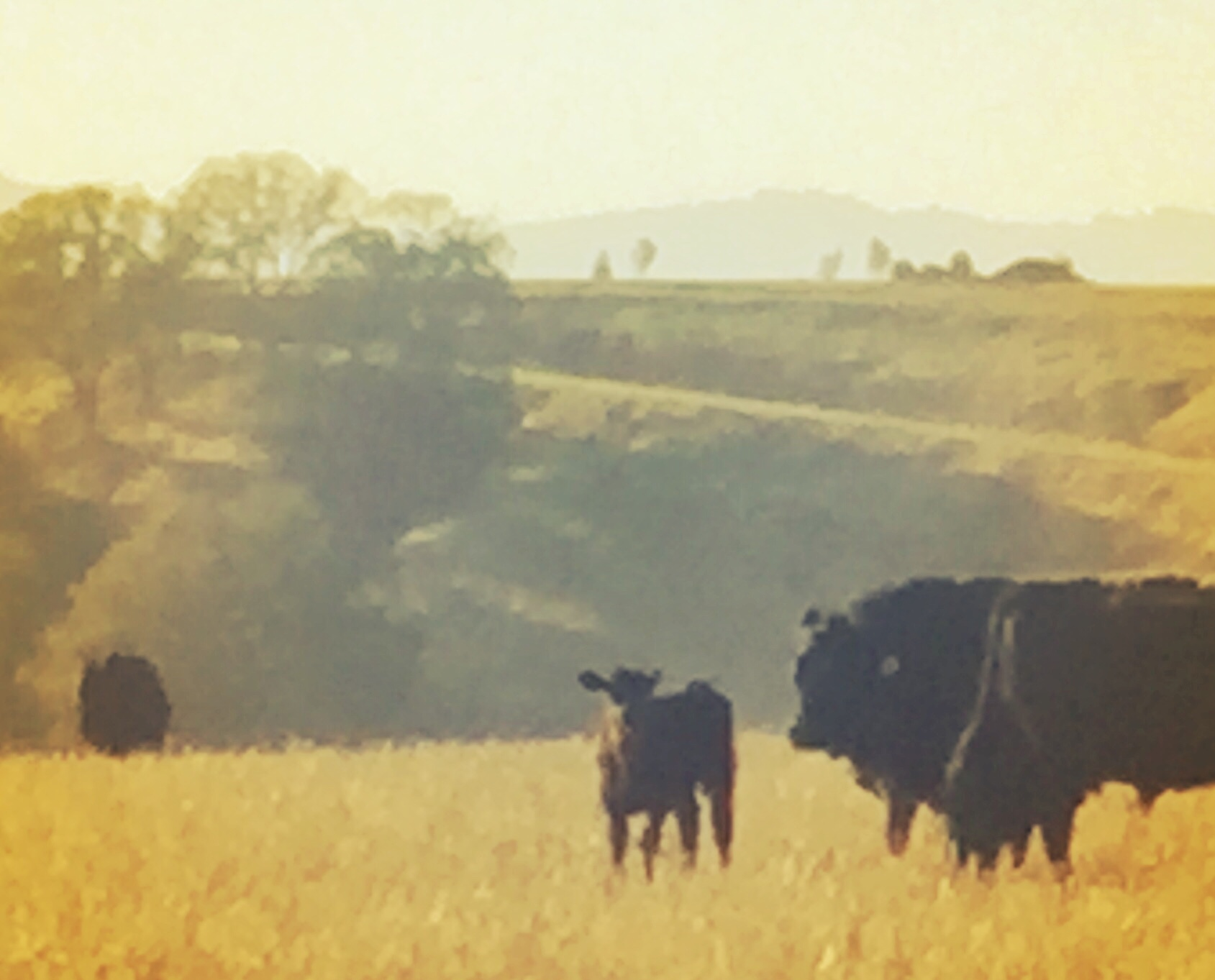 Cows in Paso