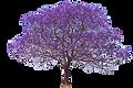 Jacaranda Tree.png