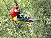 rosella tinamba gippsland birdwatching.j