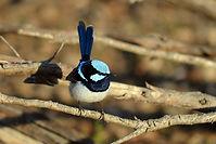 cowwarr birdlife.jpg