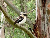glenmaggie gippsland birdwatching kookab