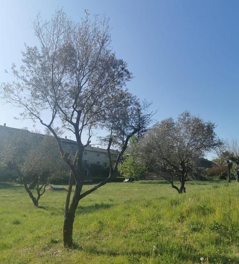 Le jardin et les oliviers