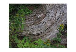 Grand Manan Tree stump for VP