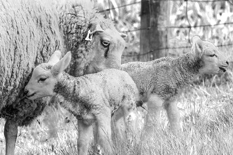 blue rocks lambs