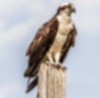 Osprey_Small.jpg