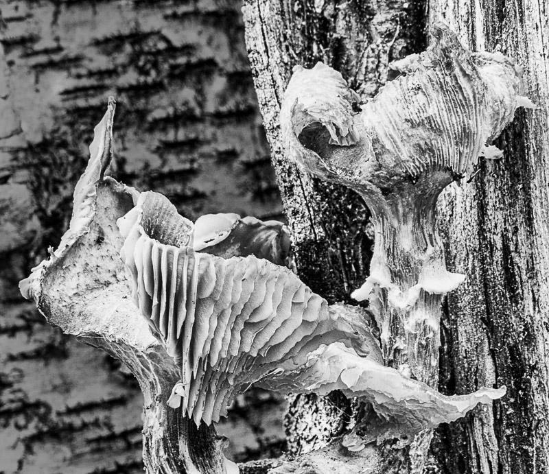 Mushroom Distortion