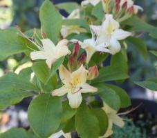 Rhododendron Lemon Drop
