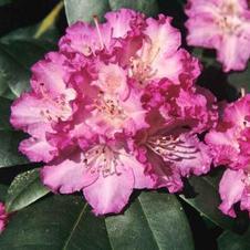 Rhododendron Quinte