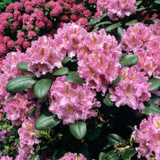 Rhododendron Everestianum