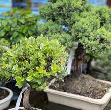 Quercus Suber Bonsai