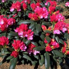 Rhododendron Kalinka