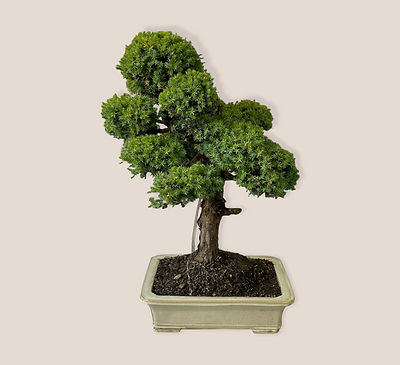 Juniperus rigida.jpg