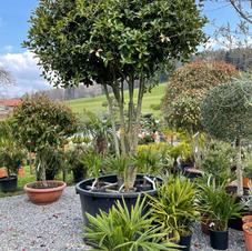 Osmanthus aquifolium Schirm