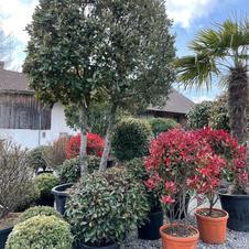 Quercus Ilex Schirm, Solitär