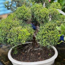 "Juniperus ""Kaizuka"" Bonsai"