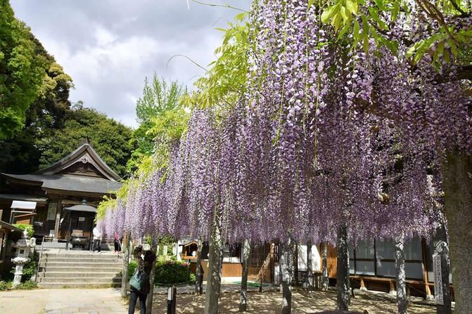 武蔵寺の藤が見頃です