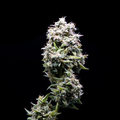 illicit-flower-prepacked-eighth-ghost-og-4.jpg