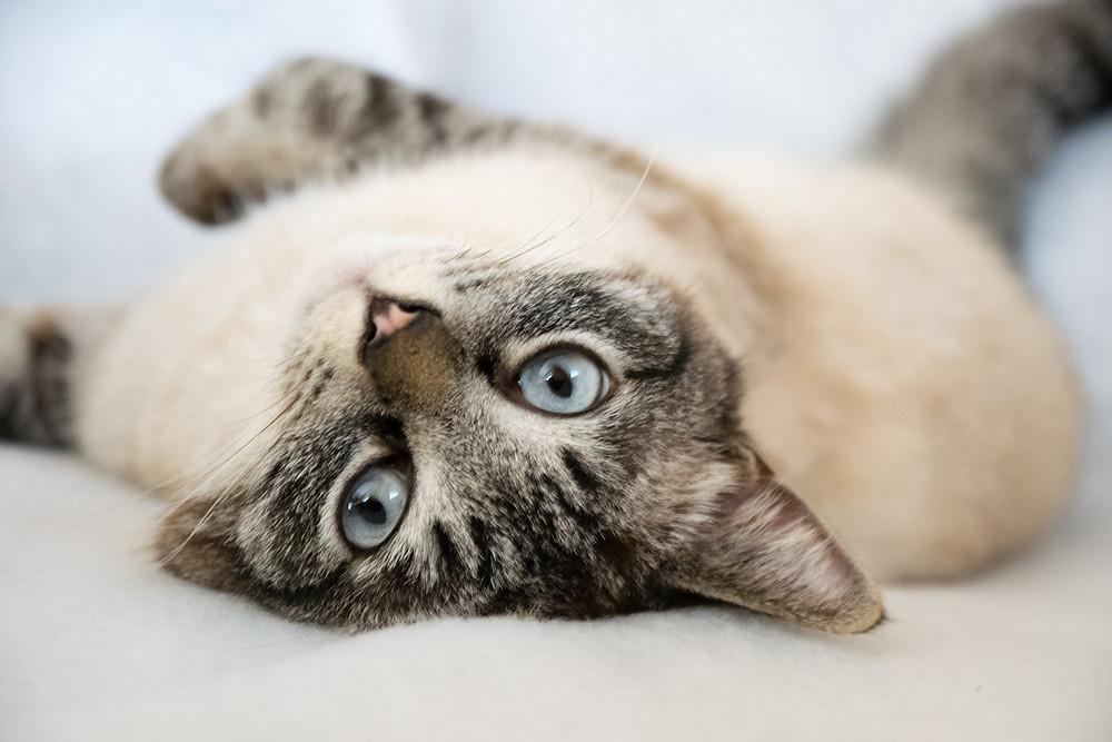 La debilidad pronunciada en gatos.