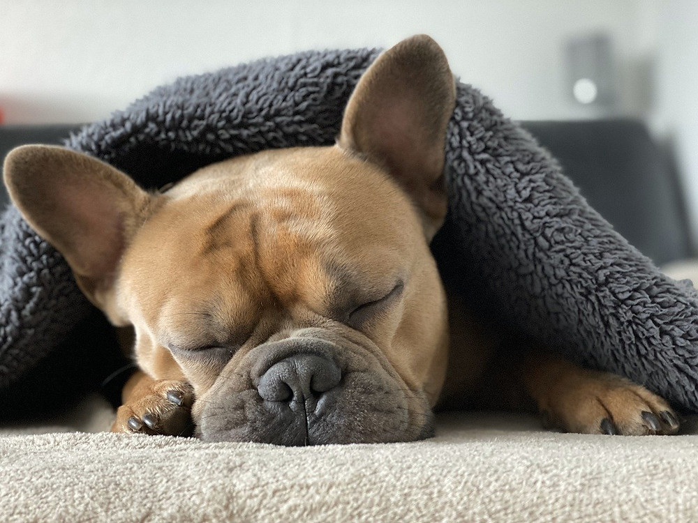 Los problemas respiratorios del Bulldog Francés color canela