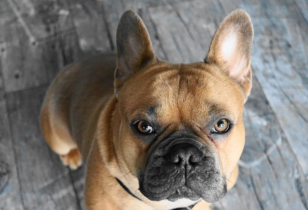 Los problemas respiratorios del Bulldog Francés marrón