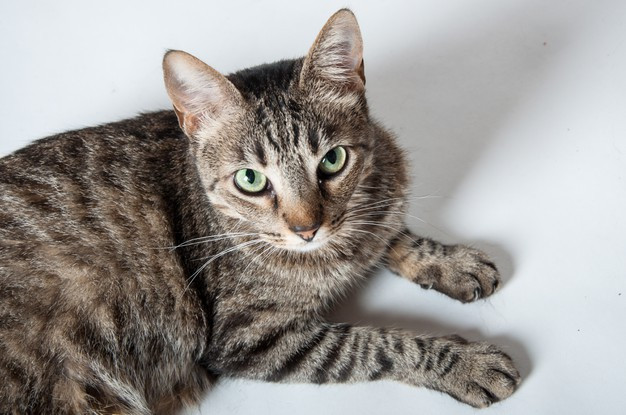 Gato común europeo mirando hacia arriba