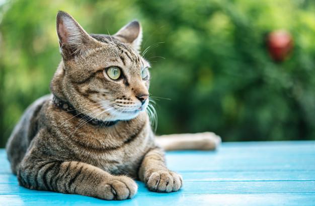 Gato comun europeo sobre una madera azul