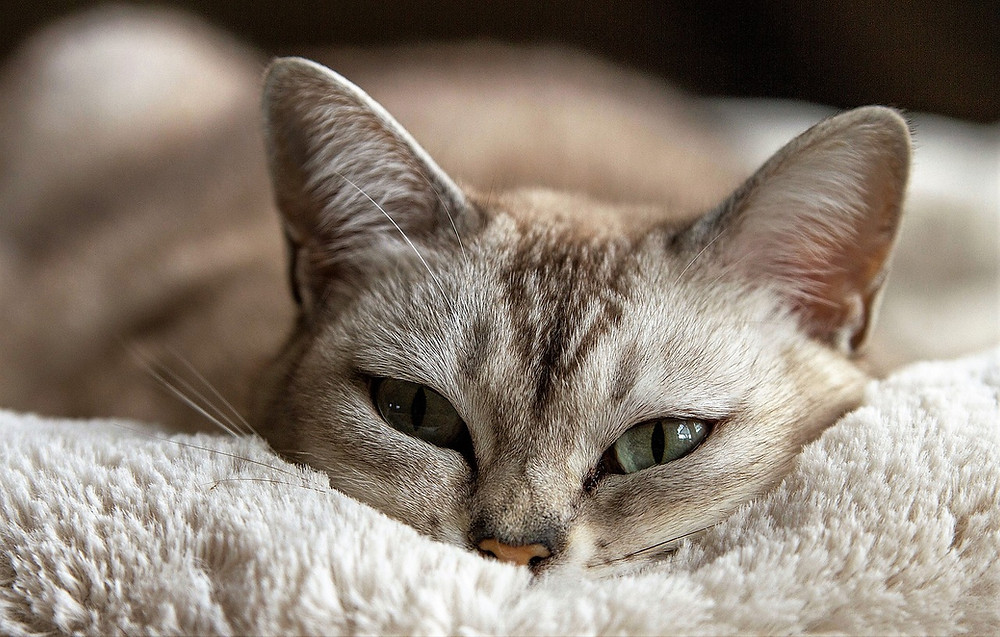 Gato acostado en el caso clínico de estrés en gatos y sistema urinario.