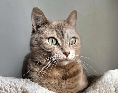 Gato pardo en el caso clínico de estrés en gatos y sistema urinario.
