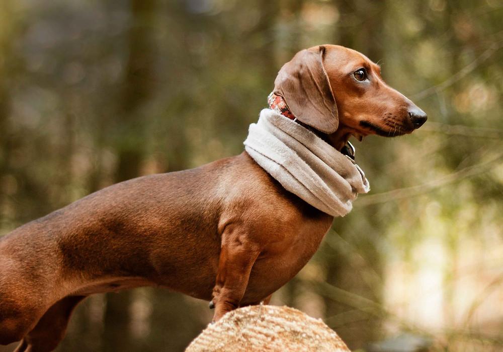 Teckel marron en el bosque con una bufanda.