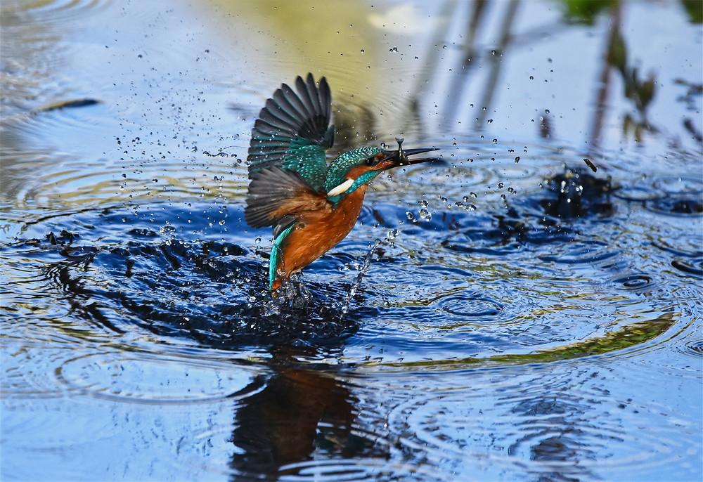 Martín pescador saliendo del agua con un pez pequeño en el pico
