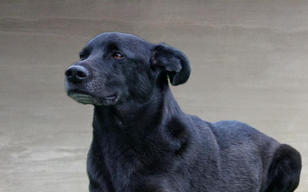 Perro negro mirando al frente muy feliz