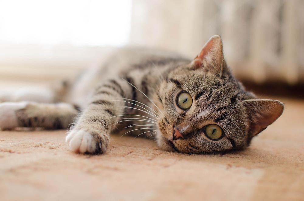¿Por qué hay fármacos que afectan más a los gatos que a los perros?